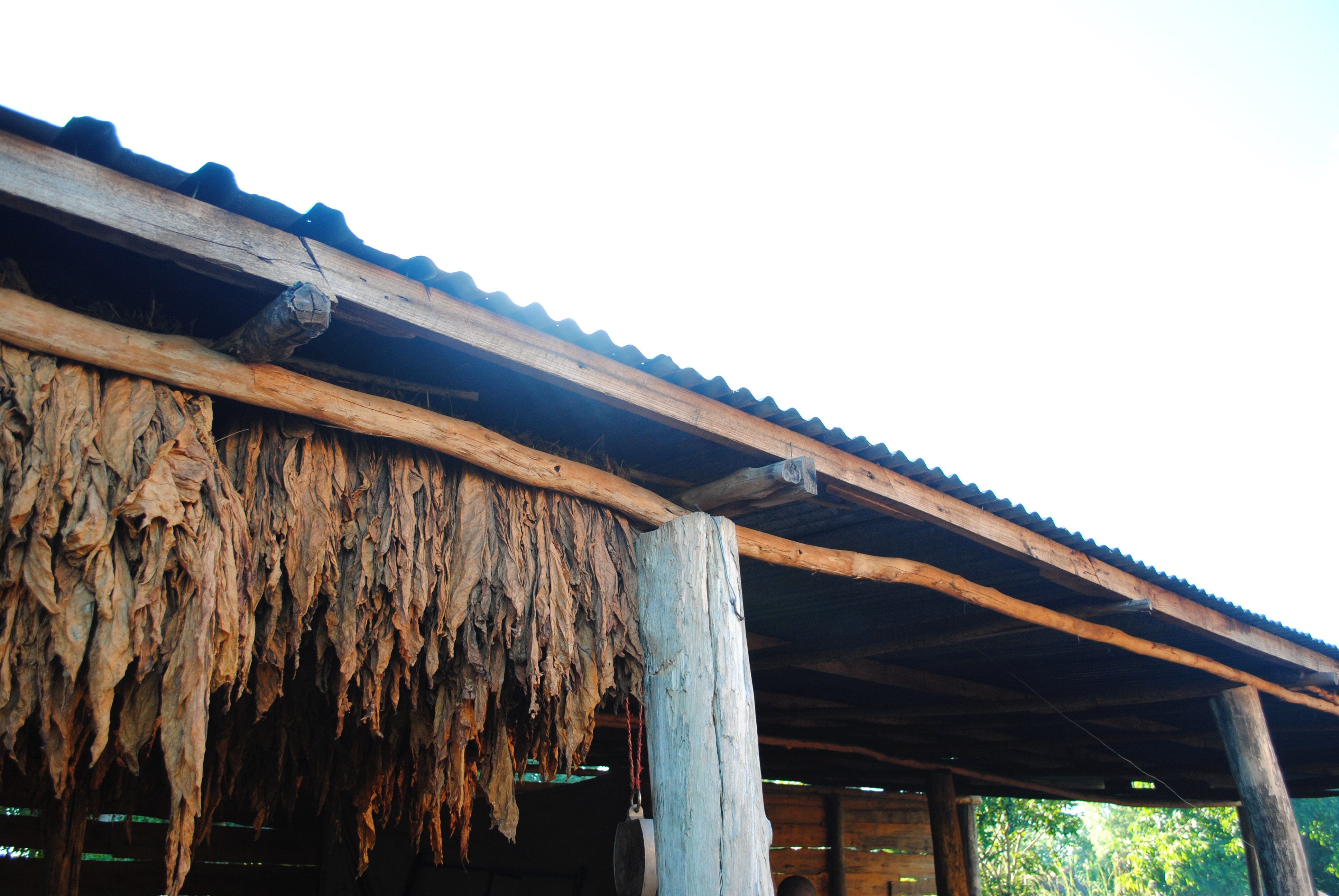 tobacco hanging to dry in Malawi, 2012